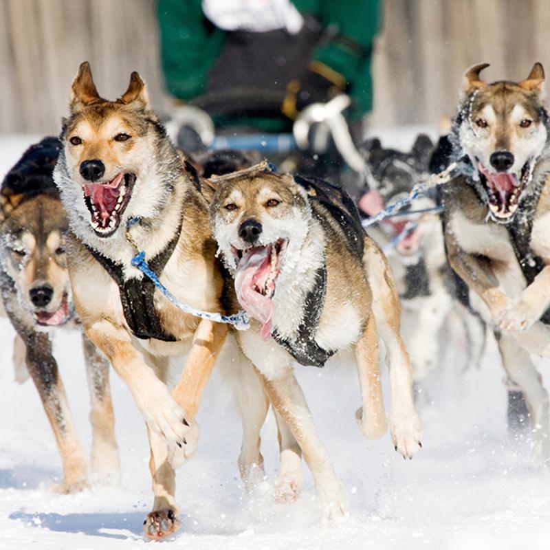 Dog Sled Tours Through Grand Teton National Park Togwotee Mountain Lodge In Togwotee Pass Wy